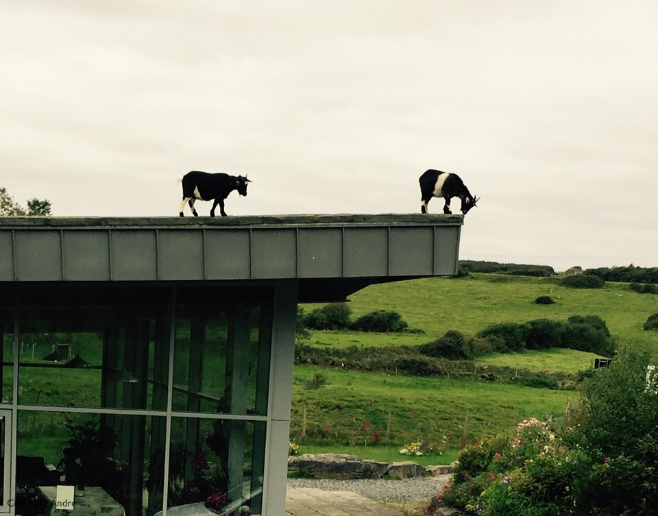 Pygmy goats on the roof.