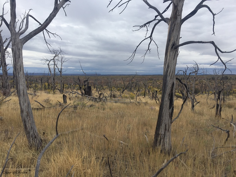 Top of the mesa showing trees burnt by the 2000 pony fire.