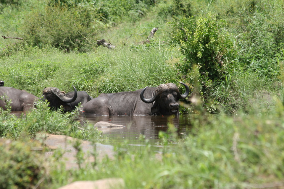 Cape Buffalo in the water.
