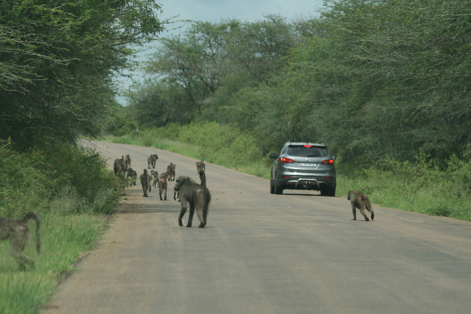 Baboons.