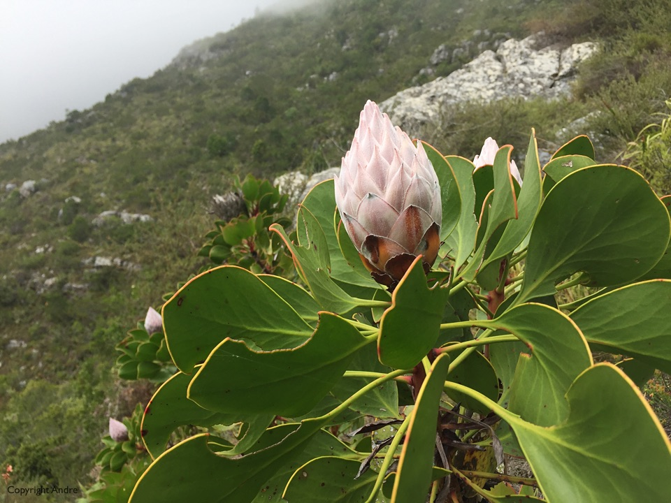 Protea about to bloom.