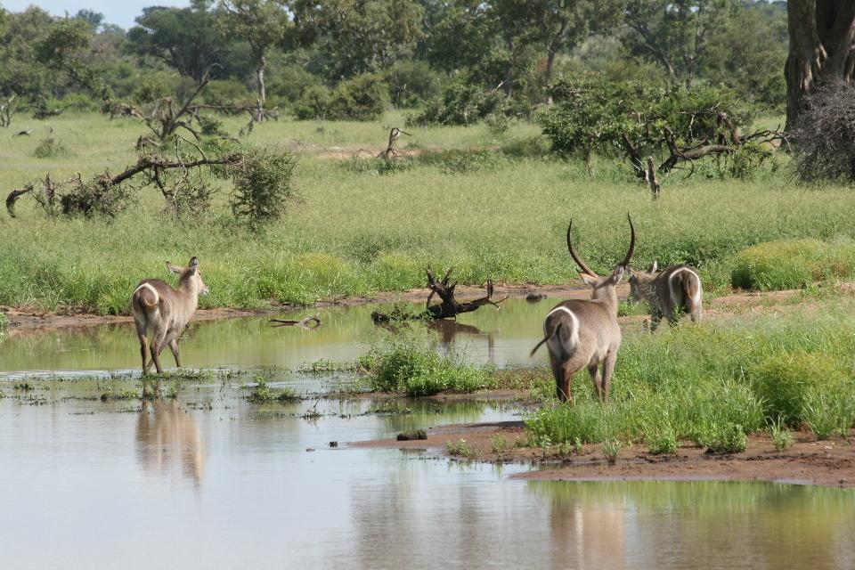 Water buck.