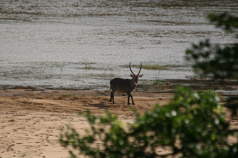 Male Water buck.