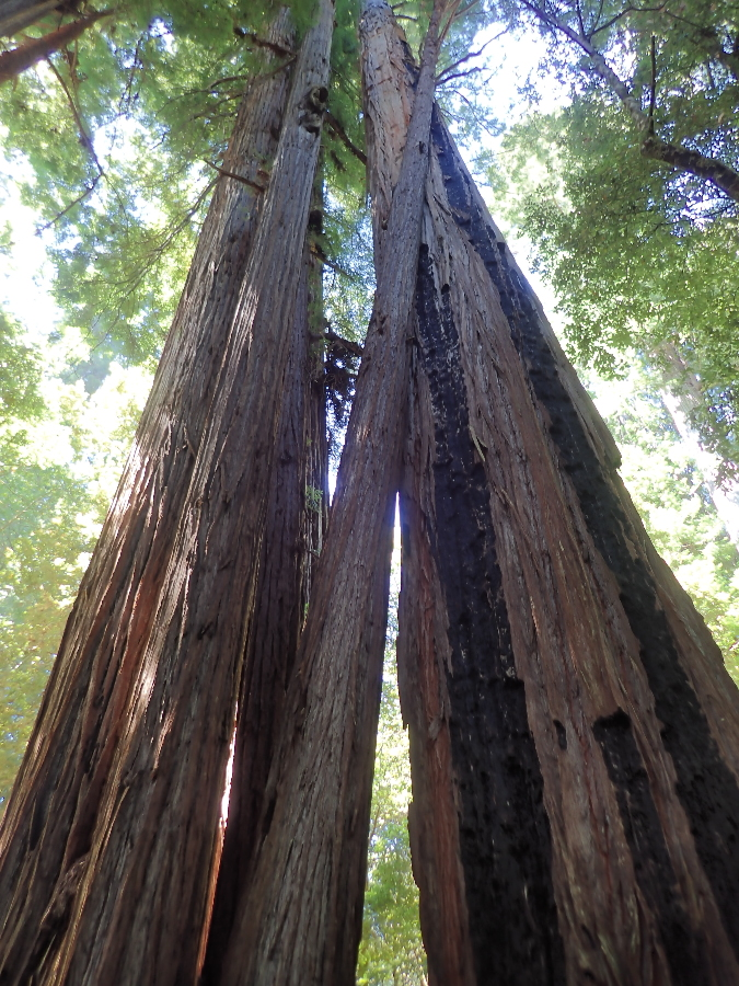 Love the Redwoods.
