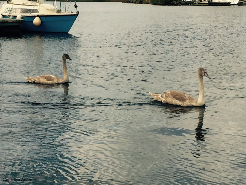 Swans? came a calling.