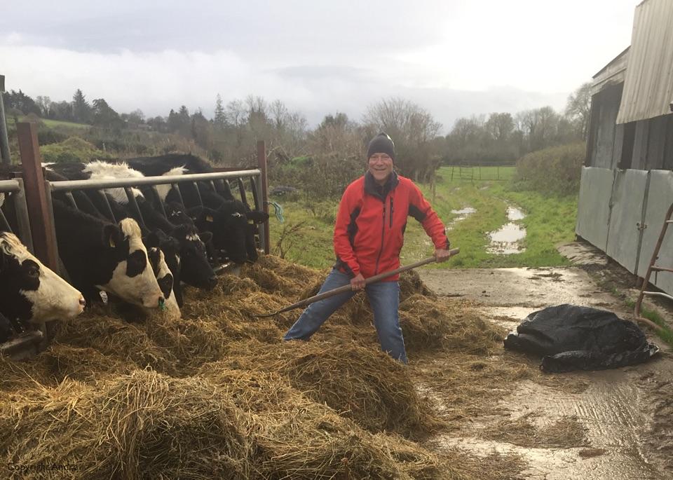 Feeding the cows.