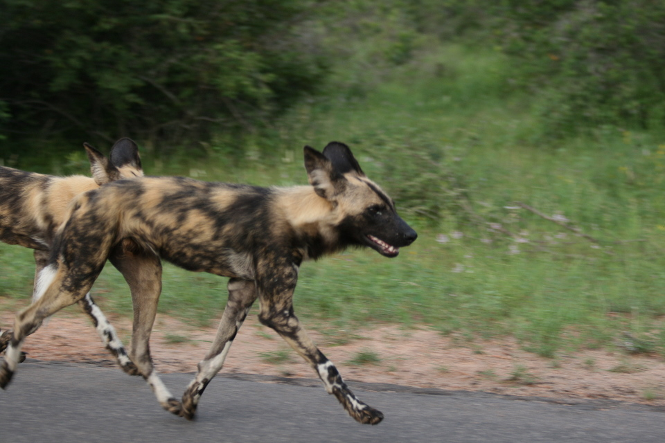 Wild dog on the move.
