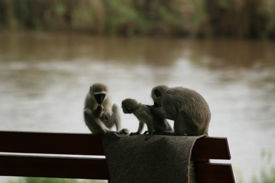 Velvet monkeys on bench in the camp.