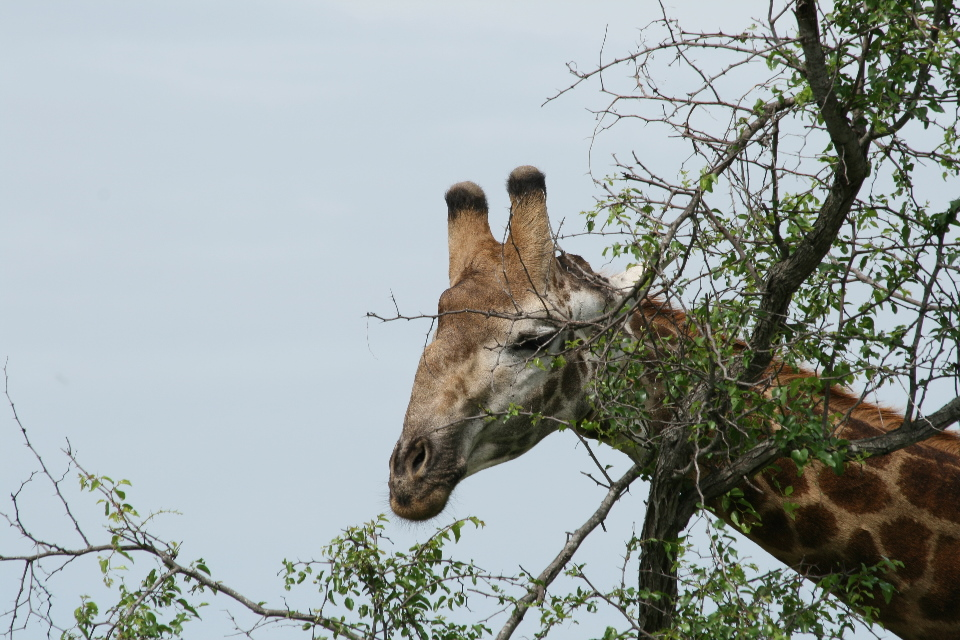 Giraffe can eat the leaves from thorn trees.