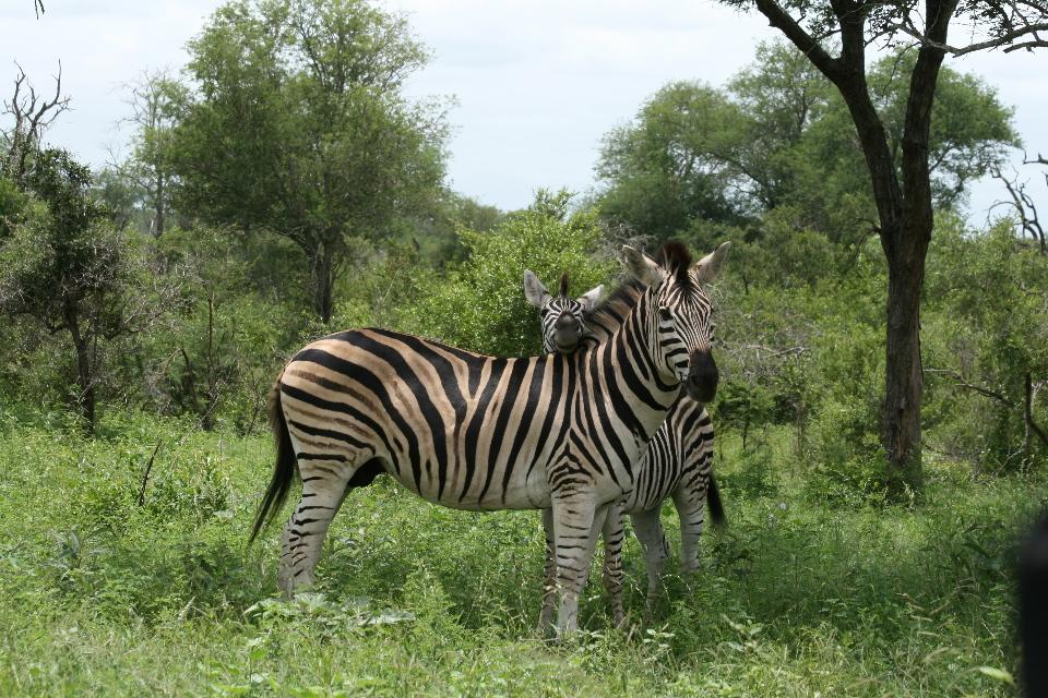 Touchy feely Zebra.