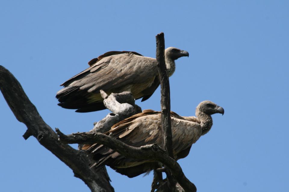 Vultures patiently wait.