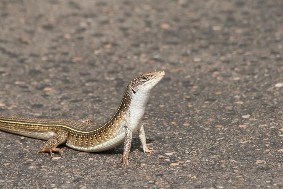 Lizard (of course!)