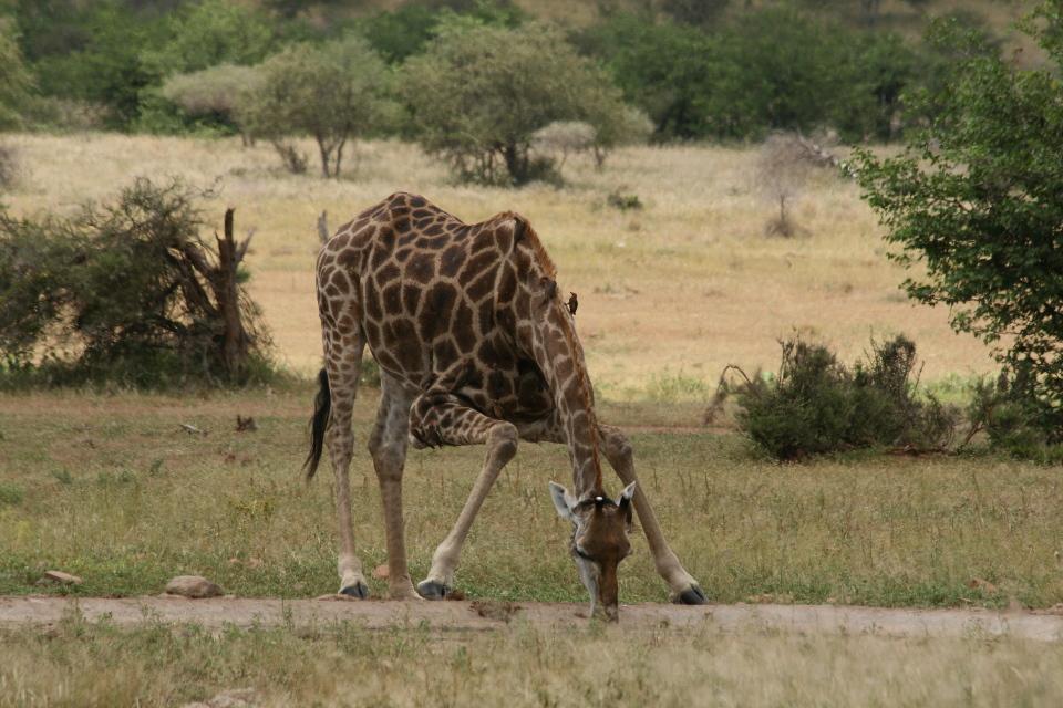 Giraffe drinking.