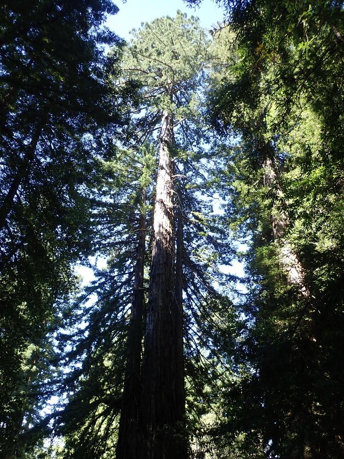 Coastal Redwood.