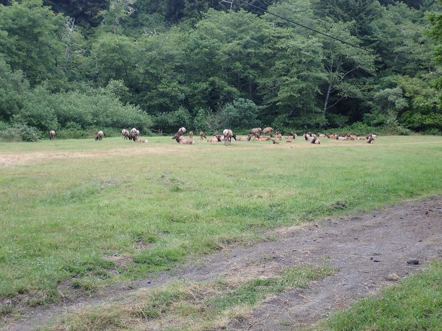 Roosevelt Elk in the meadow.